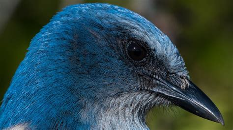 nikon  captures incredible detail florida scrub jay