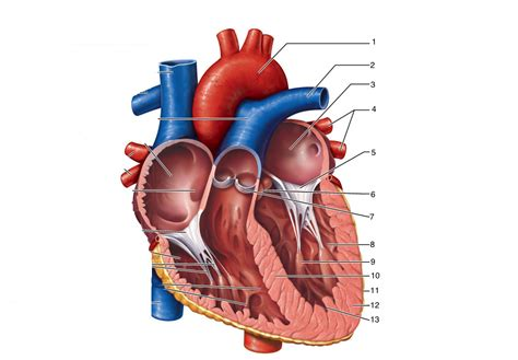sections of the heart left pulmonary veins 5 mitral bicuspid valve left