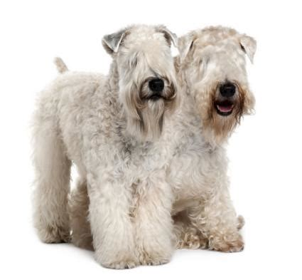soft haired wheaten terrier puppy wheaten terriers lovetoknow