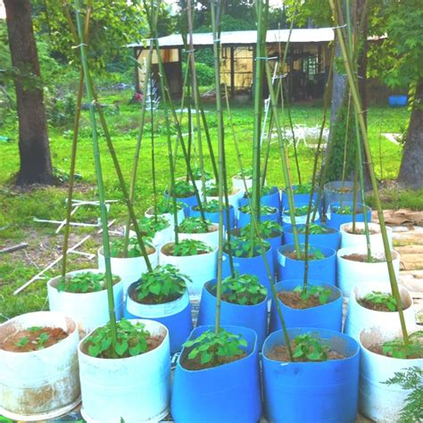 container gardening beans container gardening my pole bean patch grow it