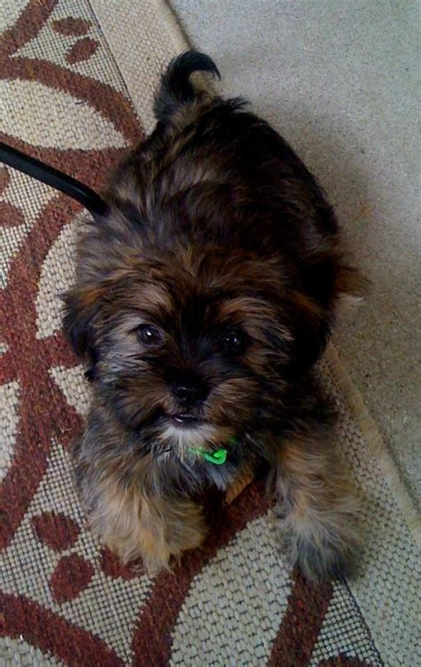 pictures of shorkie dogs with hair 74 best images about yorkie mix on pinterest adoption