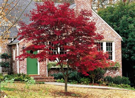 fireglow japanese maple home ideas yard pinterest