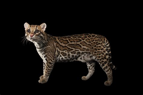 National Geographic Also Search For National Geographic Photo Ark Spotlight Ocelot National Geographic