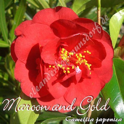Cammelia Maroon 1 maroon and gold kamelie camellia japonica oleanderhof
