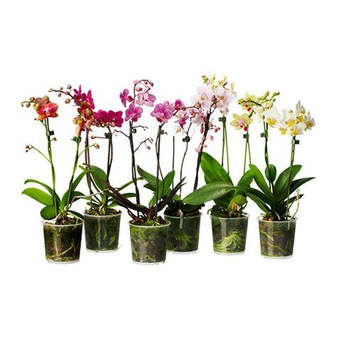 vasi per orchidee ikea phalaenopsis pianta da vaso ikea
