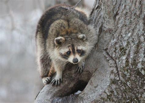 raccoons procyon lotor vector control services