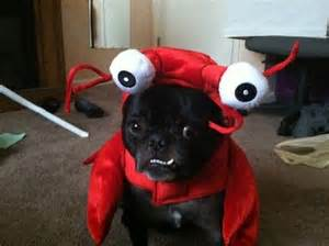 pug costume ideas pics pugs in best costumes 171 country news artists interviews us99