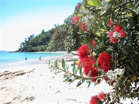 images of christmas in new zealand have you ever heard about pohutukawa in new zealand