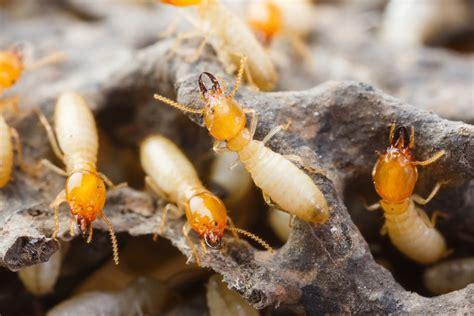 signs  termite damage   home  decorative