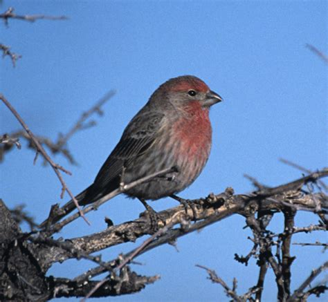 sound of a house finch house finch