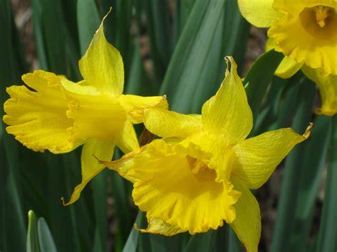 daffodil yellow 100 daffodil yellow free images petal daffodil flora