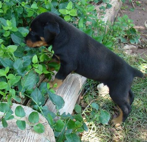 doberman puppies az 11 best images about our dobermans on doberman puppies spaniels and arizona