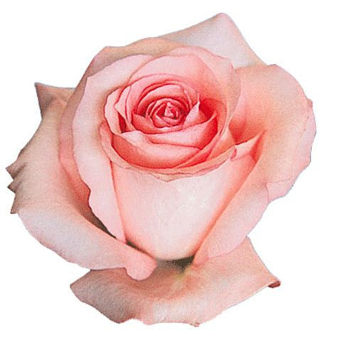 princess diana rose rose diana i biography