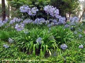plantas y flores agapanthus africanus