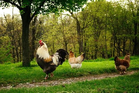 How To Keep Backyard Chickens The 6 Silliest Arguments Against Backyard Chickens My Pet Chicken