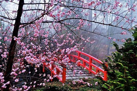 cherry blossom festival cherry blossom festival japan hanami tourismkit