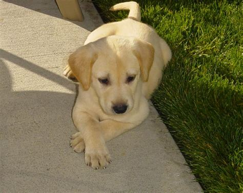 yellow lab puppies what are purebred yellow lab puppies supposed to look like yahoo answers