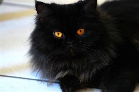 gatti persiani neri razze gatti gatto persiano nero caratteristiche dogalize