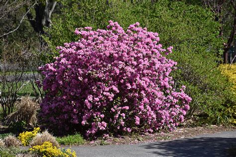 pjm elite rhododendron rhododendron pjm elite