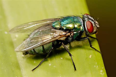 blow flies in house myiasis flies veterinary medicine 5410 with bowman at cornell university college of