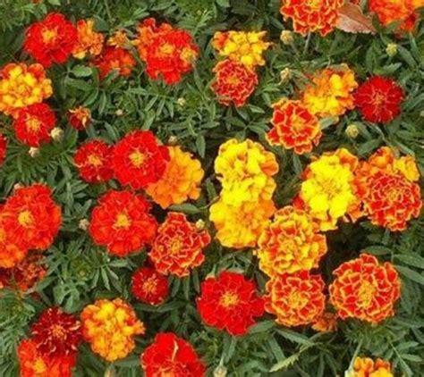 Tanaman Marigold Orange benih marigold sparky mix 5 biji non retail bibitbunga