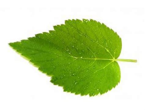 imagenes hojas de sen las hojas mojadas 2 descargar fotos gratis