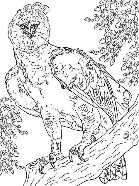 coloring page of harpy eagle harpy eagle coloring pages