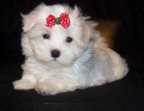 adopt a maltese puppy for free teacup maltese puppies for free adoption breeds picture