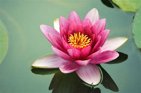 lotus flower top secret lotus flower page our mind is the limit