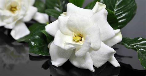 gardenia pests diseases leaves turning brown