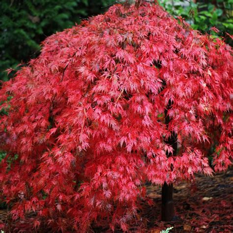 japanese maple tree leaves photosynthesis your maples