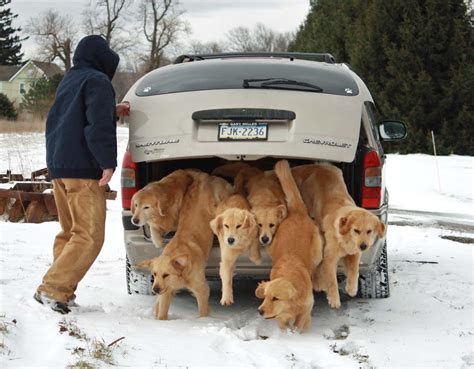 golden retriever breeders in pennsylvania harborview golden retrievers golden retrievers puppies breeders pa