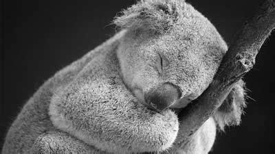 Makan Tidur Anime fakta koala koala