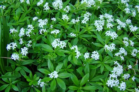 sweet woodruff asperula odorata overview health