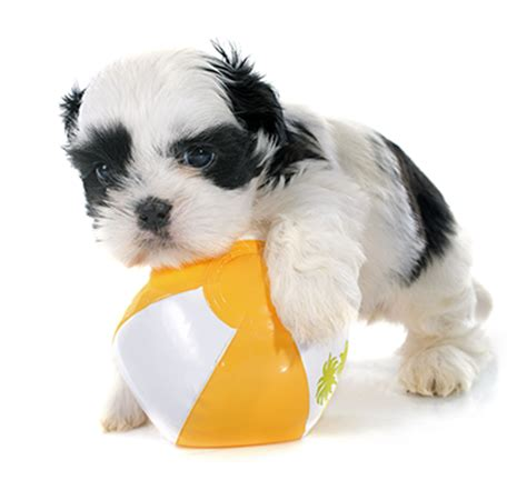 characteristics of a shih tzu find out about shih tzu temperament shih tzu web