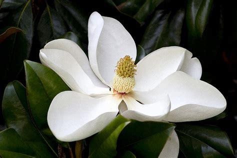 art reference magnolia on pinterest magnolias flower