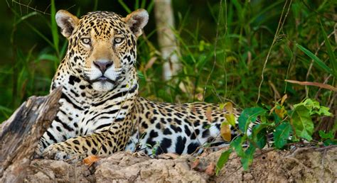 home defenders of wildlife blog bringing el tigre home defenders of wildlife releases new