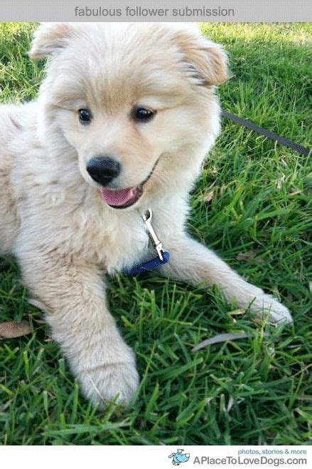 pomeranian labrador mix corgi akita mix breeds picture