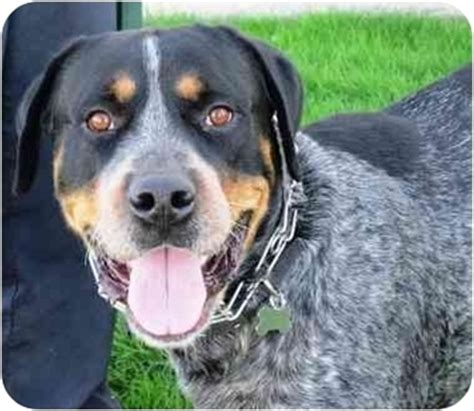 how big will my get huckleberry adopted west los angeles ca rottweiler bluetick coonhound mix