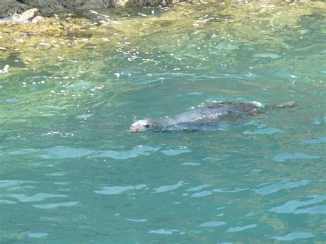 shearwater boat trips pwllheli an inquisitive seal checking out the shearwater picture