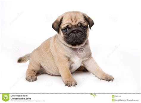 pugs for free pug puppies for free 7 high resolution wallpaper dogbreedswallpapers