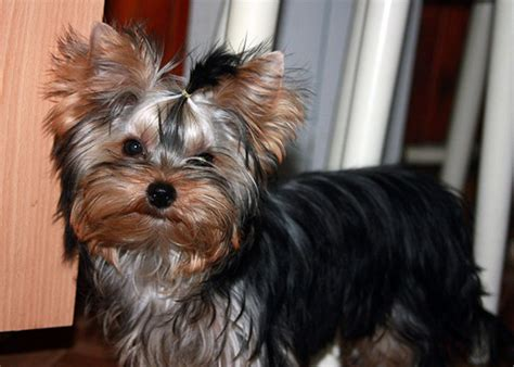 how to a yorkie not to bark understand the reasons related with yorkie barking and stop it accordingly