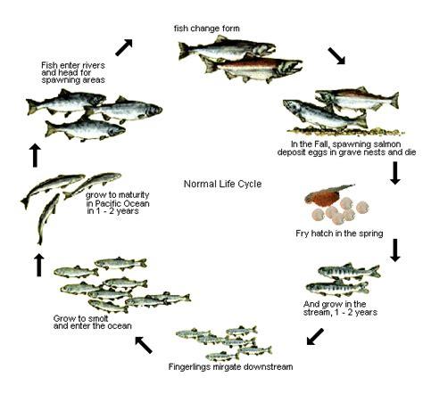 fish cycle diagram cycle of a salmon homeschool environmental