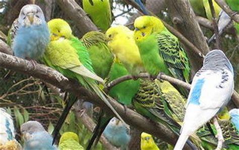 tips memelihara burung parkit adventure of baladika