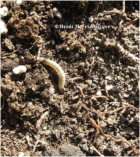 heidi horticulture worms in house plant soil
