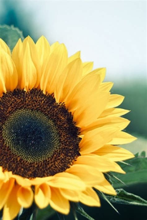 wallpaper for iphone sunflower sunflower iphone hd photo wallpapers 10155 hd wallpapers