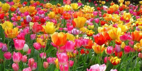 tulipani in vaso tulipano come curare e coltivare i tulipani in vaso e in