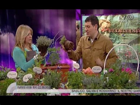 come curare il basilico in vaso cifo ascolta le tue piante la salvia funnydog tv