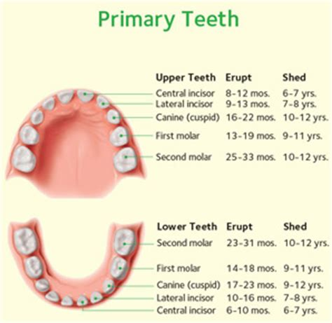 ages when baby teeth come in and fall out baby baby teeth when should they fall out smile workshop