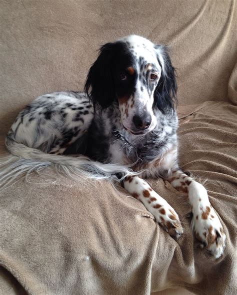 setter dog fable 3 ember our tricolor ryman english setter me pinterest